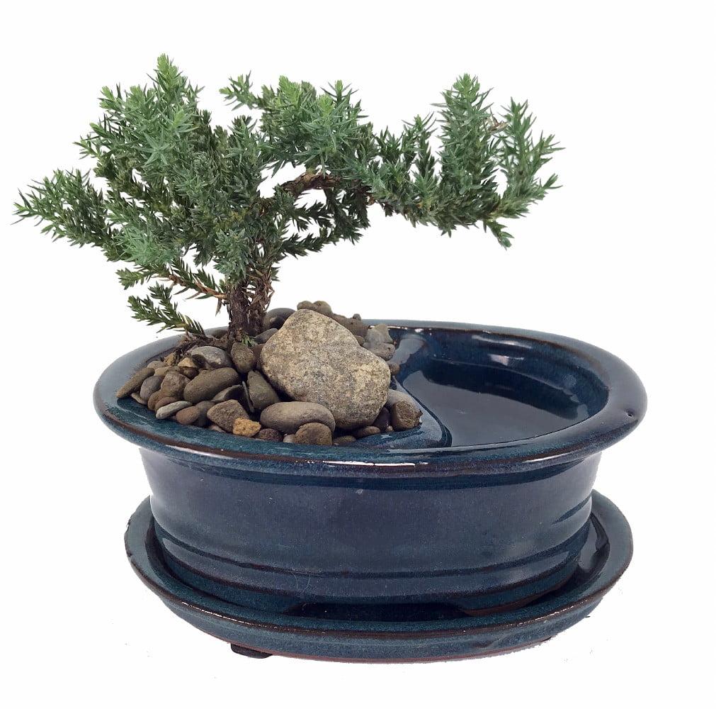 """Feng Shui Reflections Japanese Juniper Bonsai Tree Pot Saucer 6"""" x 4"""" x 2"""" by Hirt's Gardens"""