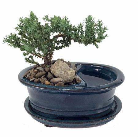 (Feng Shui Reflections Japanese Juniper Bonsai Tree - Pot/Saucer - 6