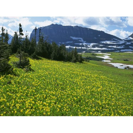 Meadow of Glacier Lilies, with the High Rocky Mountains Behind, Glacier National Park, Montana, USA Print Wall Art By Waltham Tony