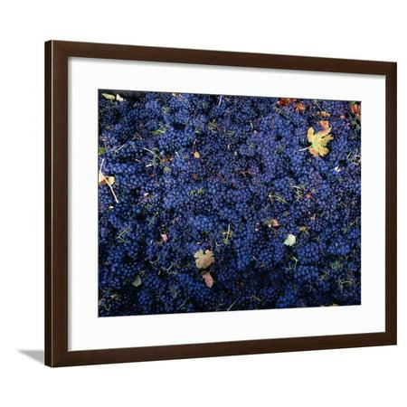 Zinfandel Grape Harvest, Sonoma, California, USA Framed Print Wall Art By Roberto Gerometta