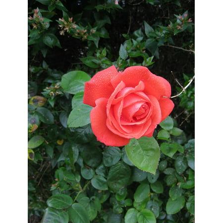 LAMINATED POSTER Sweetheart Nature Red Rose Love Rosebud Flower Poster Print 24 x 36