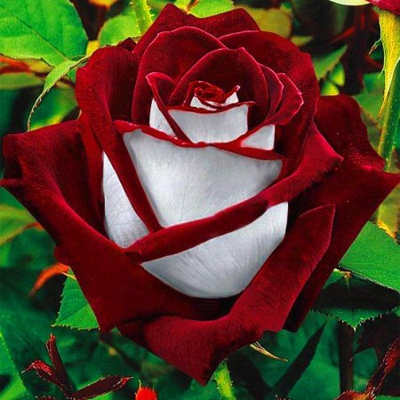20pcs Per Bag Rose Flower Seeds Potted Bonsai Floral Plants Seeds for Home Garden Decoration