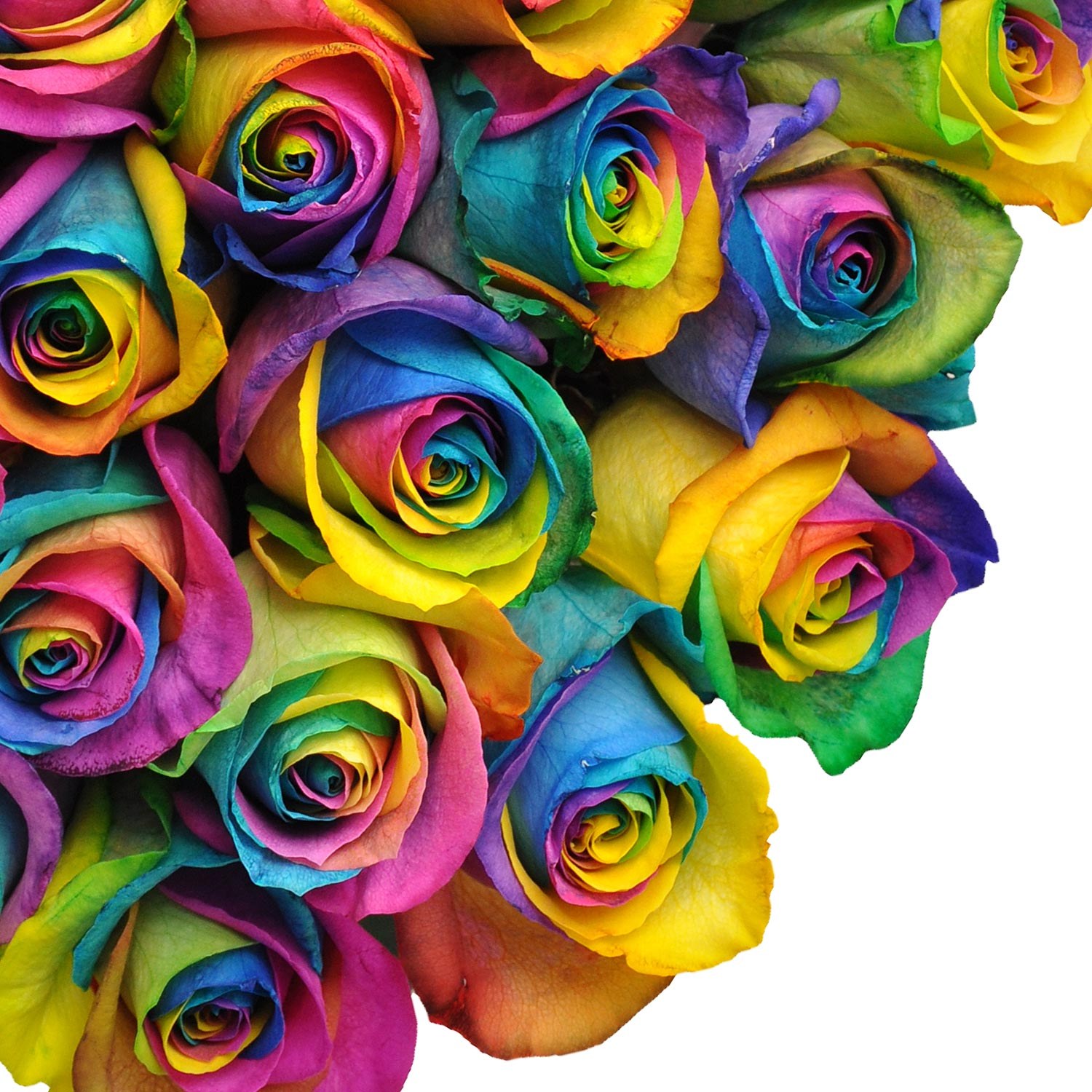 """Natural Fresh Flowers - Tinted Rainbow Roses, 20"""", 50 ..."""