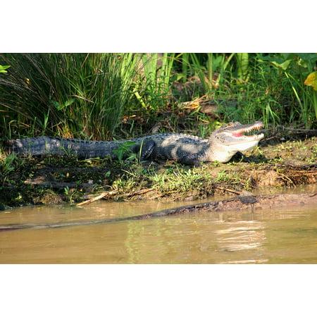 Canvas Print Swamp Crocodile Bayou Louisiana Alligator Animal Stretched Canvas 10 x (Genuine Louisiana Alligator)
