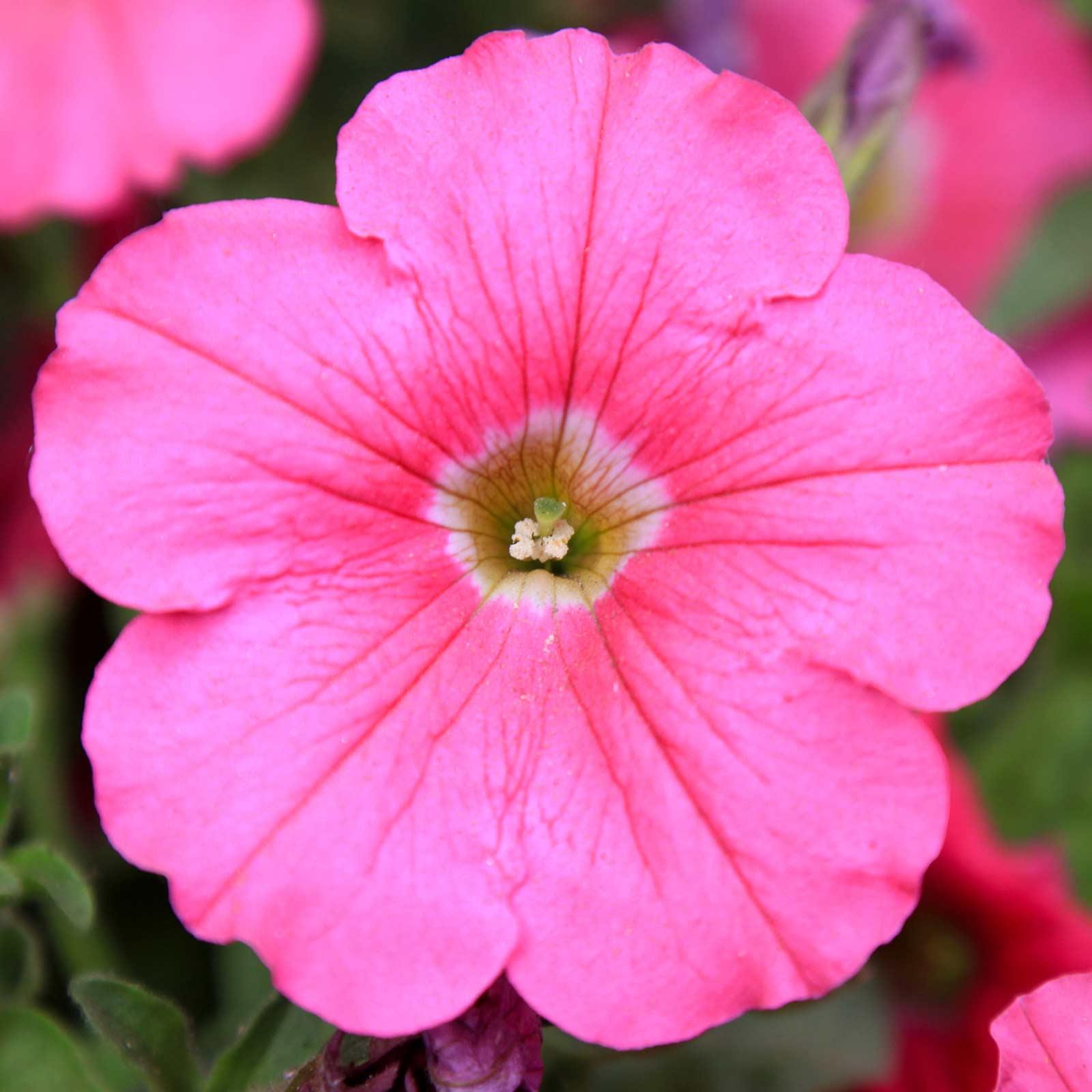 Petunia - Madness Series Flower Garden Seed - 1000 Pelleted Seeds - Burgundy Star Blooms - Annual Flowers - Single Floribunda Petunias