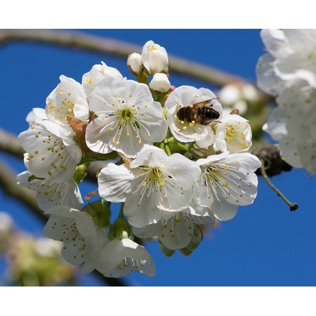 LAMINATED POSTER Foraging Cherry Bee Pollinator White Flowers Poster Print 24 x
