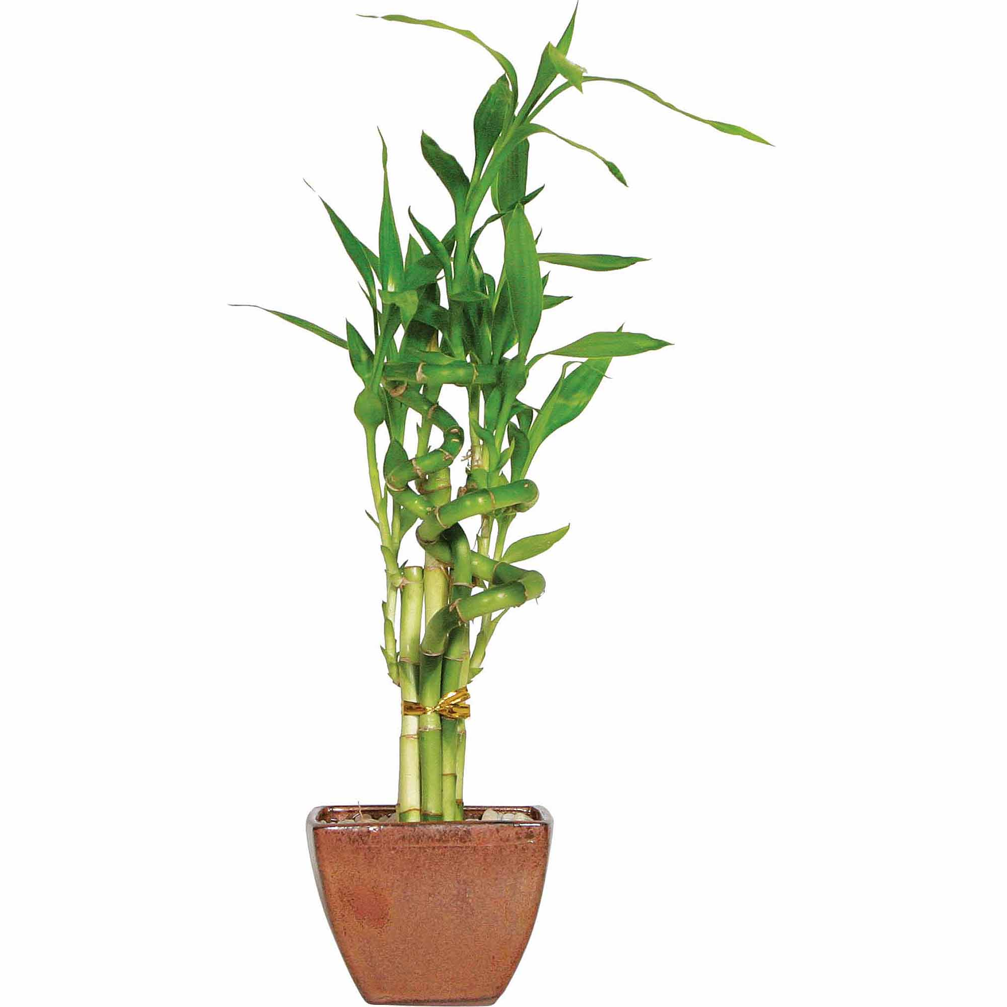 Brussel's Lucky Bamboo 7 Stalk Curly - Small - (Indoor)