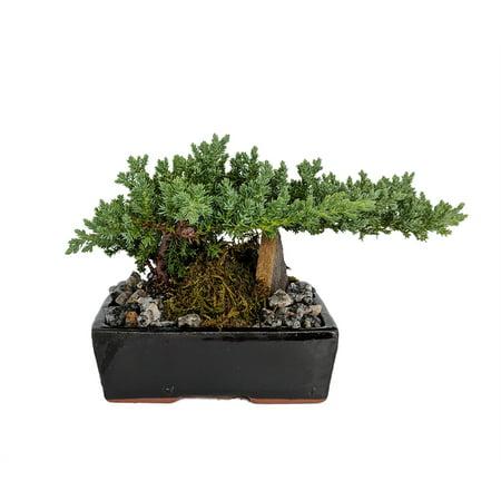 Serenity Garden Japanese Juniper Bonsai Tree - 6