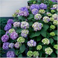 Endless Summer Hydrangea 1-Gallon Live Flowering Shrub