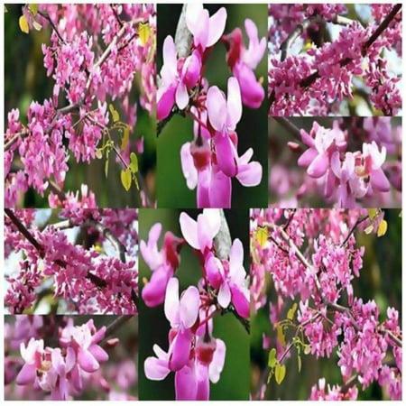 15 x western redbud tree seed cercis occidentalis bright pink 15 x western redbud tree seed cercis occidentalis bright pink flower tree seeds mightylinksfo