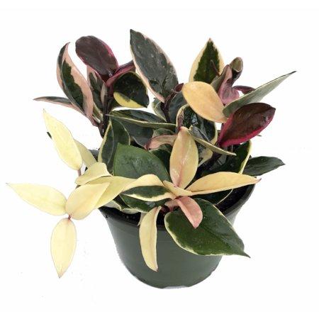 Plant Wax - Strawberries & Cream Wax Plant - Hoya - 6