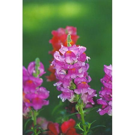 Image of Expert Gardener No Shade 6 Pack Snapdragon