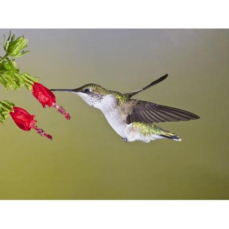 Ruby-Throated Hummingbird, Texas, USA Print Wall Art By Larry