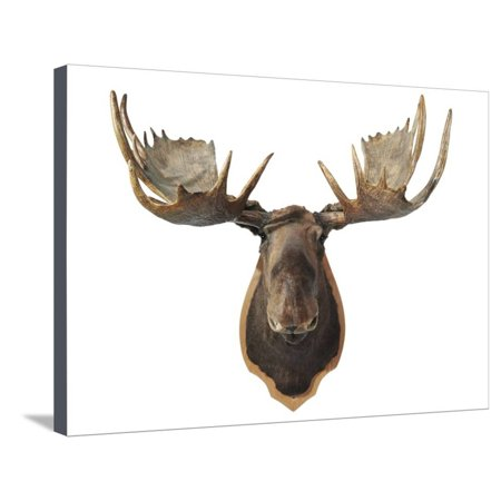 Canadian Taxidermy Moose Head Hunting Trophy, Mounted on an Oak Shield, Vancouver Stretched Canvas Print Wall Art ()