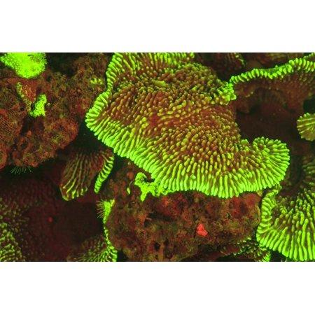 Fluorescing sponges and hard coral at Night dive, Wetar Island, Banda Sea, Indonesia Print Wall Art By Stuart