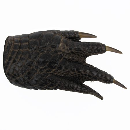 Men's Genuine Alligator Gator Claw Mens Belt Buckle Authentic Real Taxidermy - Genuine Alligator