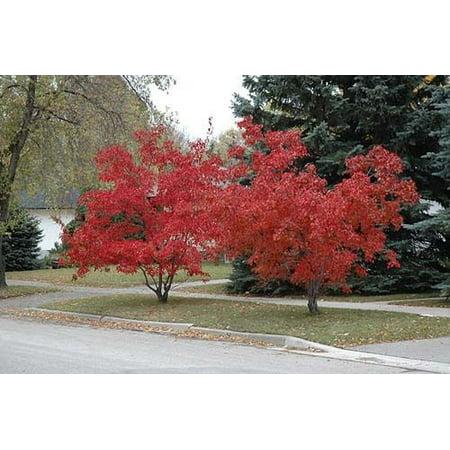 Acer Tree (Maple Amur (Acer Ginnala Flame) Nice Garden Tree 10 Seeds )
