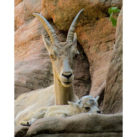 Canvas Print Boy Alpine Horns Young Animal Capricorn Mountains Stretched Canvas 10 x 14