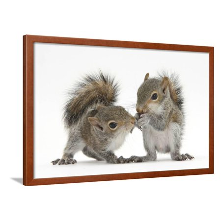 Grey Squirrels (Sciurus Carolinensis) Two Young Hand-Reared Babies Portrait Framed Print Wall Art By Mark Taylor