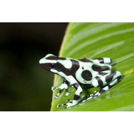 Close-up of a Green and Black Poison Dart frog (Dendrobates auratus) on a leaf Costa Rica Canvas Art - Panoramic Images (16 x