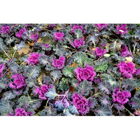Ornamental Cabbage (LAMINATED POSTER Ornamental Garden Kale Flowers Flower Bed Cabbage Poster Print 24 x 36)