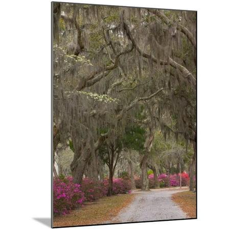 Bonaventure Cemetery with Moss Draped Oak, Dogwoods and Azaleas, Savannah, Georgia, USA Wood Mounted Print Wall Art By Joanne Wells ()