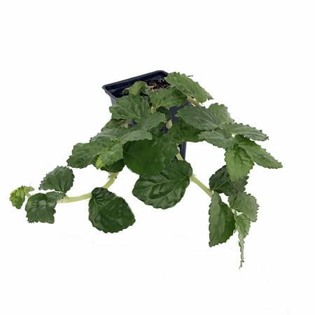 Emerald Green Begonia Vine - Pellionia - 4