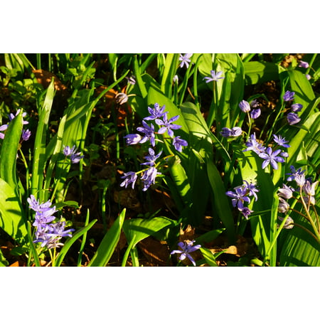 LAMINATED POSTER Blue Scilla Flower Bloom Blue Star Blossom Spring Poster Print 11 x 17 Cotton Braided Star Blossom