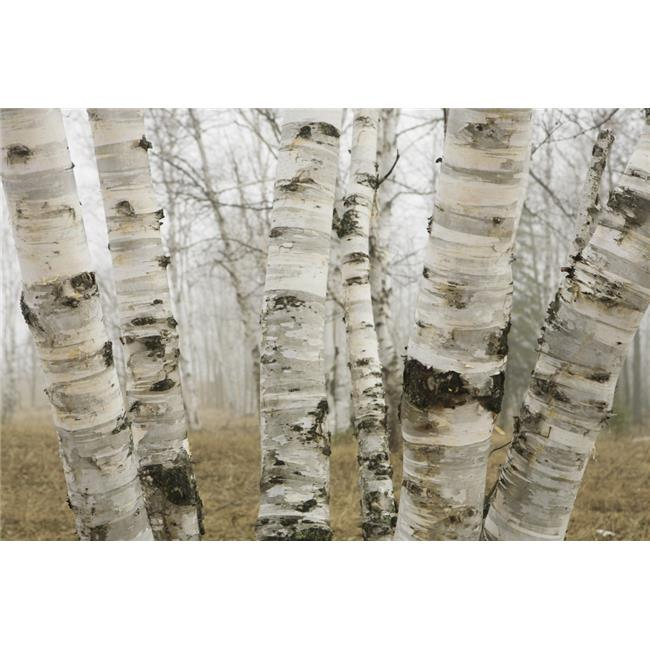 Posterazzi DPI1876460LARGE Ontario, Canada - Birch Trees In The Fog In Early Spring Poster Print, 38 x 24 - Large - image 1 of 1