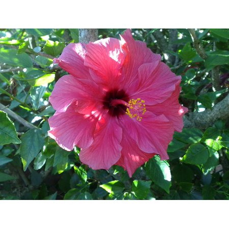 LAMINATED POSTER Nature Tropical Flower Hibiscus Petals Garden Poster Print 24 x 36 - Hibiscus Petals