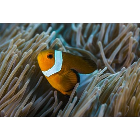 False clownfish stay close to their anemone Poster Print by Jennifer IdolStocktrek - Clownfish Anemone