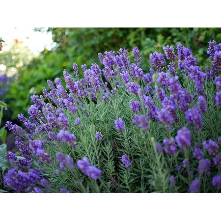 Phenomenal  Blue Lavender Herb - Inside/Out - Live Plant - Quart Pot