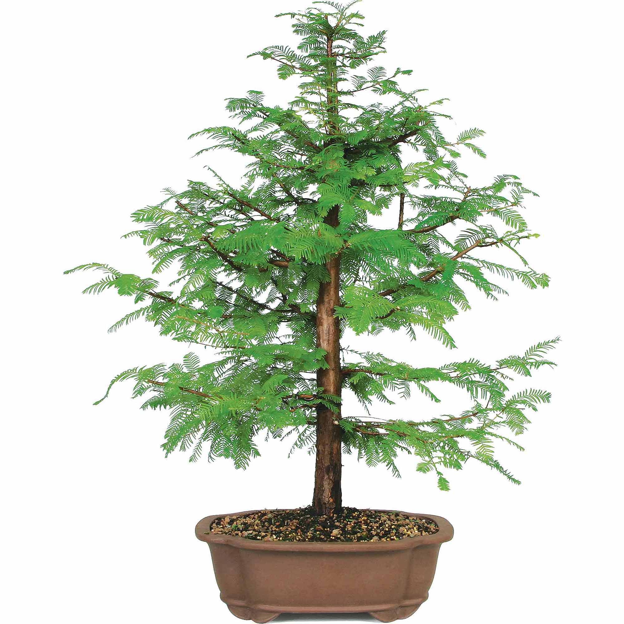Dawn Redwood Bonsai Tree Walmart Com Walmart Com