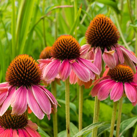 Powwow wild berry echinacea flower garden seeds purple coneflower powwow wild berry echinacea flower garden seeds purple coneflower 100 seeds perennial mightylinksfo