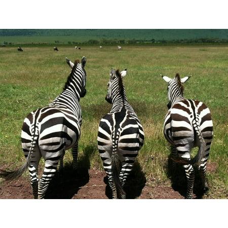 Zebra Animal Stripe (LAMINATED POSTER Zebras Mammal Animals Wild Striped Wildlife Poster Print 24 x 36)