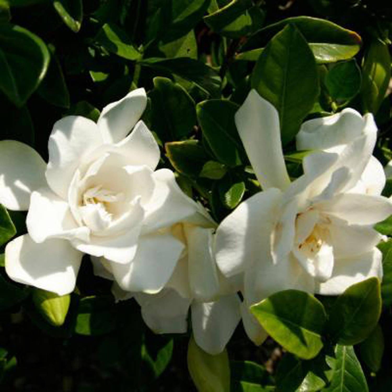 Jubilation Gardenia White Fragrant Flowers Evergreen Shrub Walmart