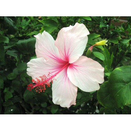 Pink Hibiscus Print (Laminated Poster Ishigaki Island Light Pink Hibiscus Outlying Islands Poster Print 11 x 17 )