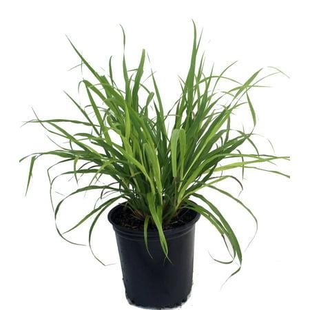 Lemon Grass Plant - Cymbopogon - Also Repels Mosquitos - 6 ...