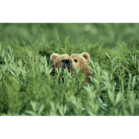 Grizzly Hidden In Ferns Near Karluk Lake Kodiak Island Ak Canvas Art - Tom Bol  Design Pics (17 x 11) ()