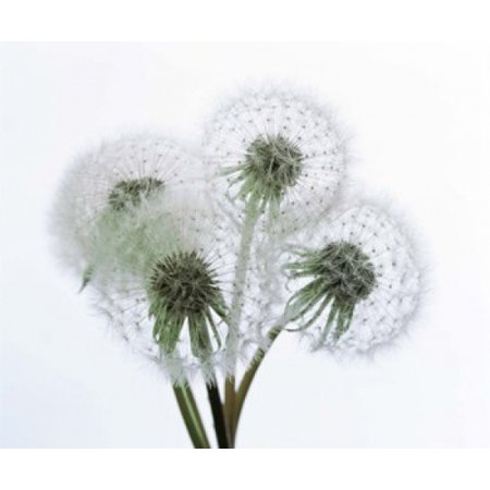 Close up of four dandelion heads in seed on stems Poster Print by Panoramic Images (16 x 14)