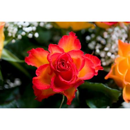 LAMINATED POSTER Nature Red Plant Rose Flower Orange Poster Print 24 x 36
