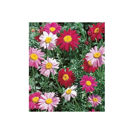 Pyrethrum Daisy Robinsons Mixture Seed - 1 Packet (Bulk Daisy Seeds)