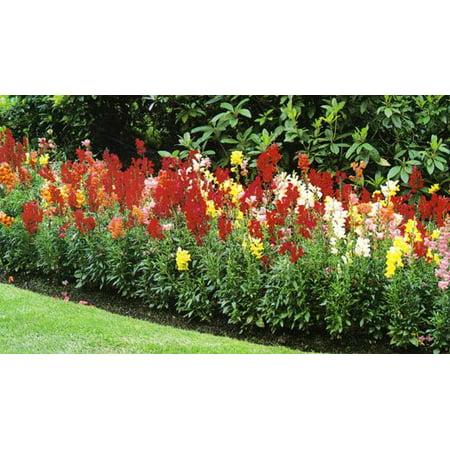 Image of Expert Gardener No Shade 6pk Snapdragon