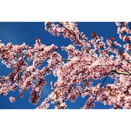 Oregon United States Of America Cherry Blossoms On A Tree In Spring Canvas Art - Craig Tuttle  Design Pics (38 x 24)