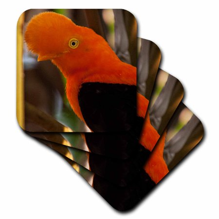 3dRose Cock-of-the-Rock, Medellin Zoo, Medellin, Antioquia Province. Colombia, Soft Coasters, set of 4