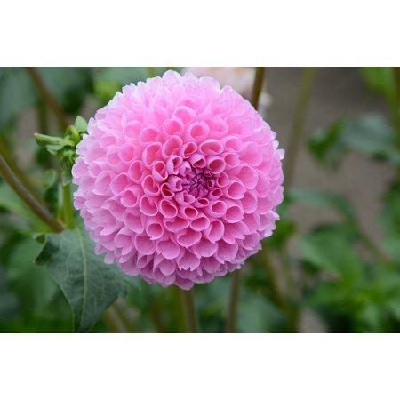 - LAMINATED POSTER Nature Dahlia Pink Bloom Petals Poster Print 24 x 36