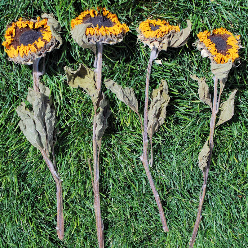 Dried Sunflowers Bunch - Large 2-4in. Heads 5 stems per bunch Length 12-18in. yellow & light green about 5-6 oz bunch -- Case of 15 bunches