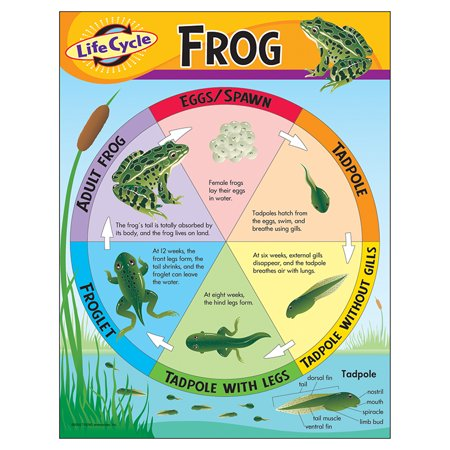 CHART LIFE CYCLE OF A FROG (Life Cycle Frog)