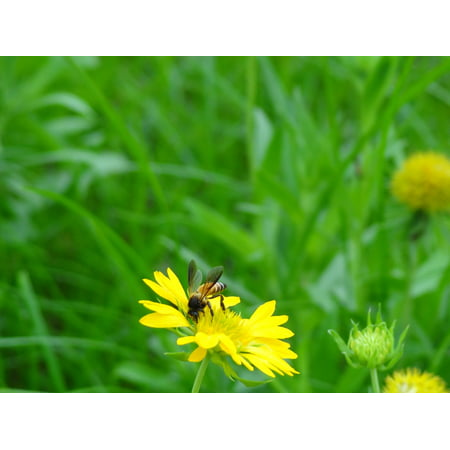 Canvas Print Wildflower Flower Insect Honey Bee Wing Flora Stretched Canvas 10 X 14