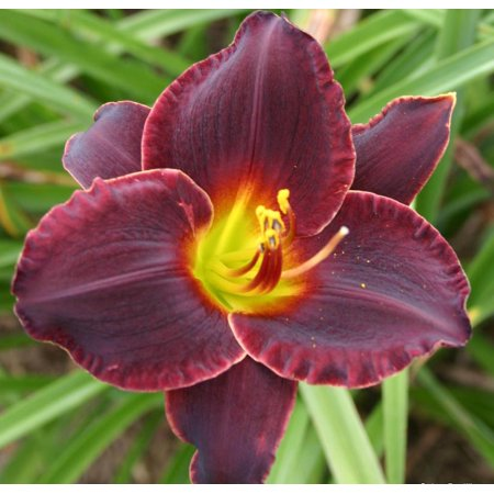 "Salieri Daylily - Hemerocallis - Unusual Form - 4"" Pot"
